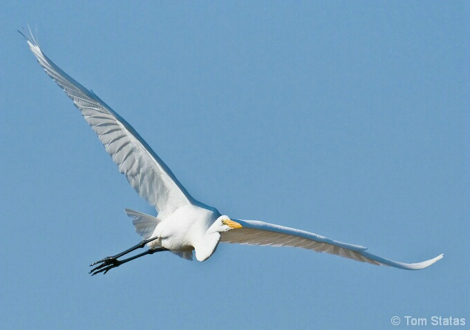 Great Egret at Assateague