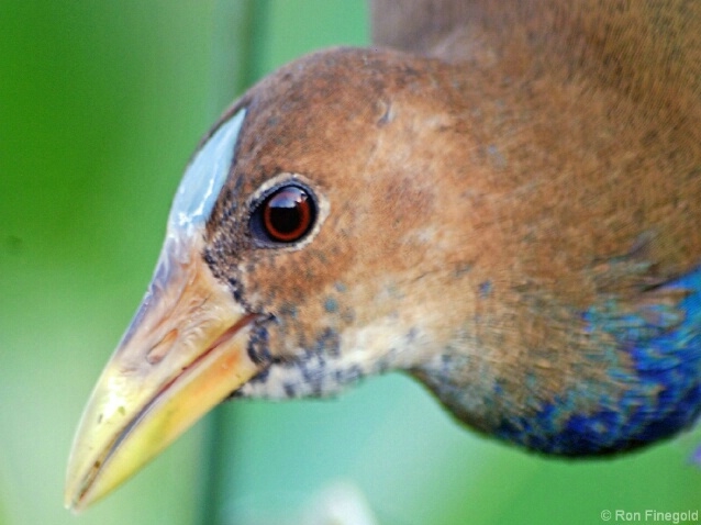 Here.s Looking at U Kid..Juvenile Purple Gallinule
