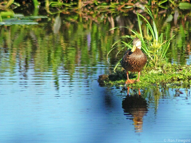 On Stage....Mottled Duck