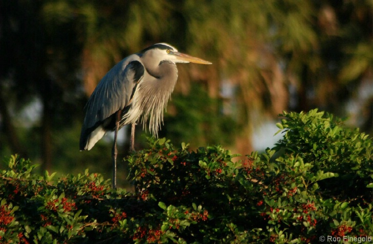 Great Blue Heron looking for a mate