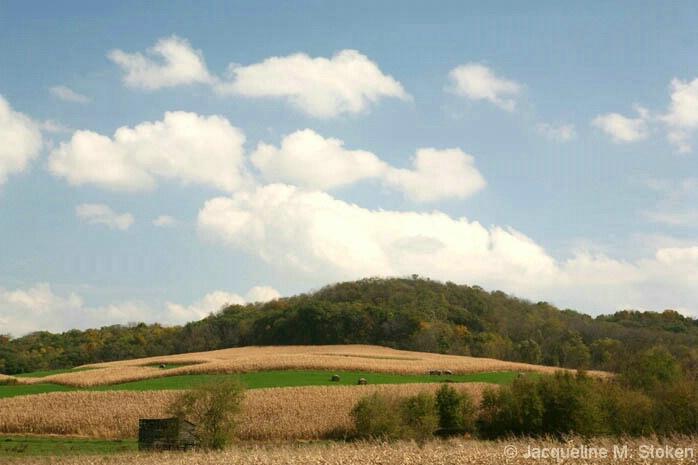 Corn and alfalfa in striking contrast - NE Iowa