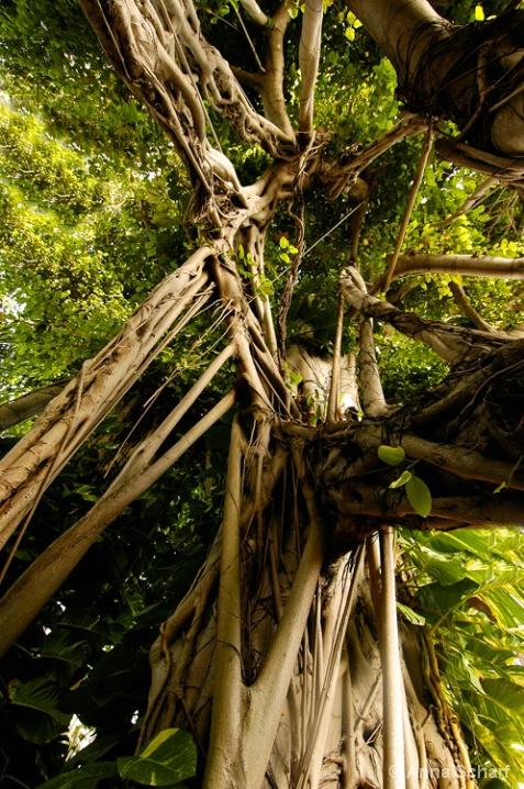 The Banyan Paradise