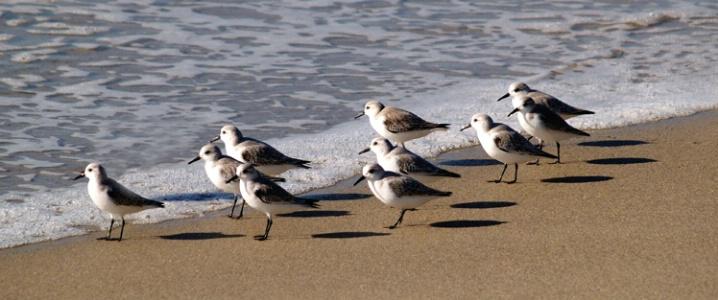 Shorebird Pano