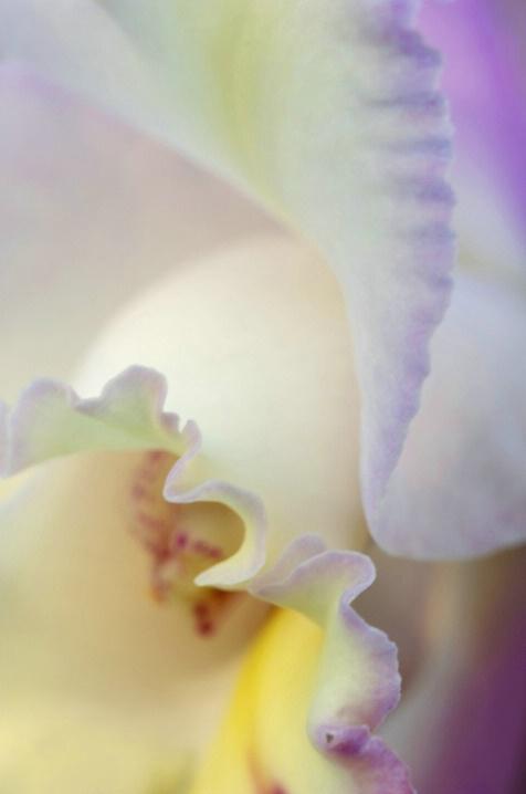 Orchid Ruffles
