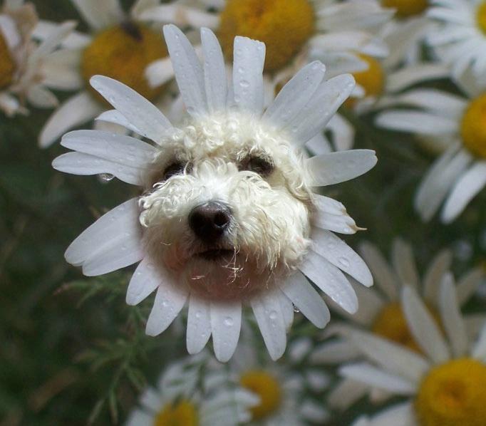 Bichon Daisy