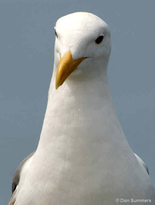 Sea Gull, Tiburon, CA 2007