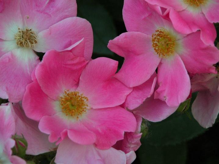 Sharon's Nearly Wild Roses