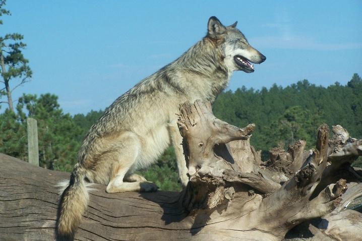Gray Wolf,  Animal Park-SD