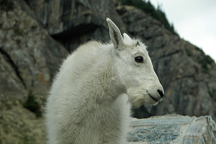 Kid Mountain Goat, Glacier National Park