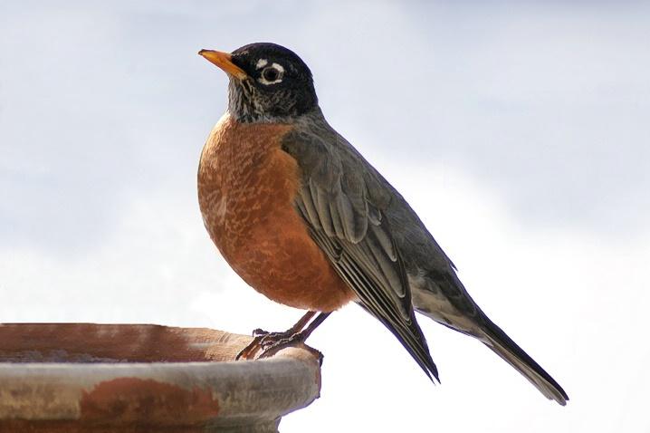 First Robin