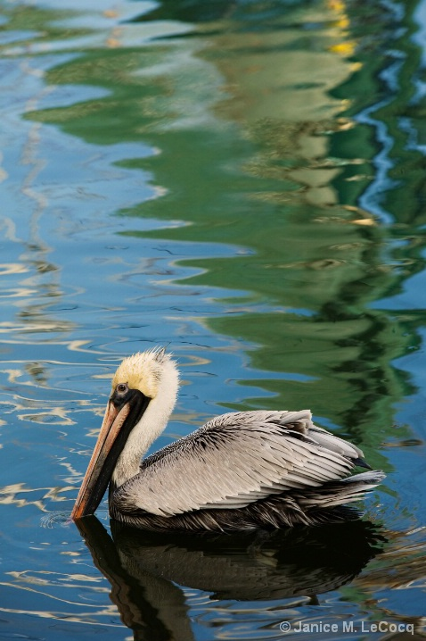 pelican_color_1