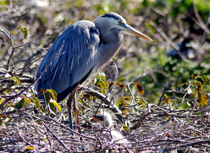 First of 2008..Great Blue Heron chick