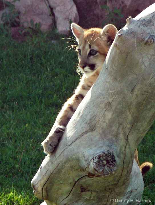 Cougar Kitten, Animal Park-SD