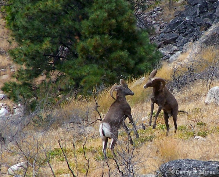 Bighorn Butting Heads, Lake Chelan-WA