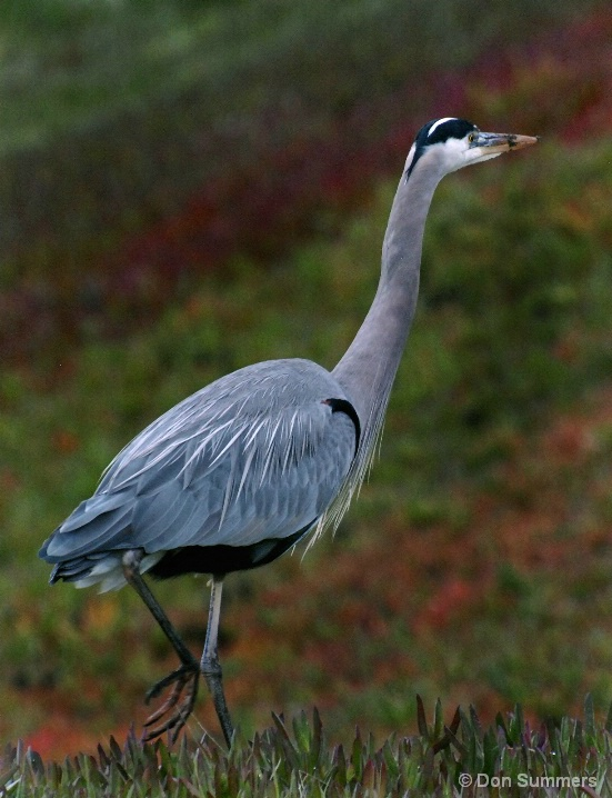 Great Blue Heron, San Francisco, CA 2008