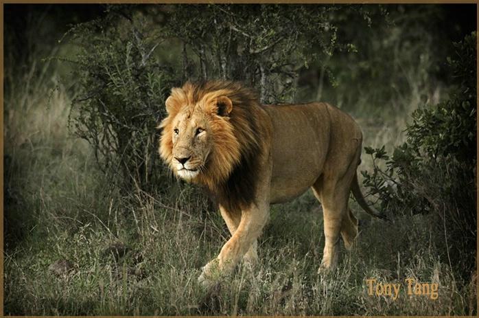 Masai Mara Kenya - Lion