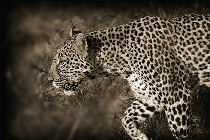 Masai Mara Kenya - Leopard profile