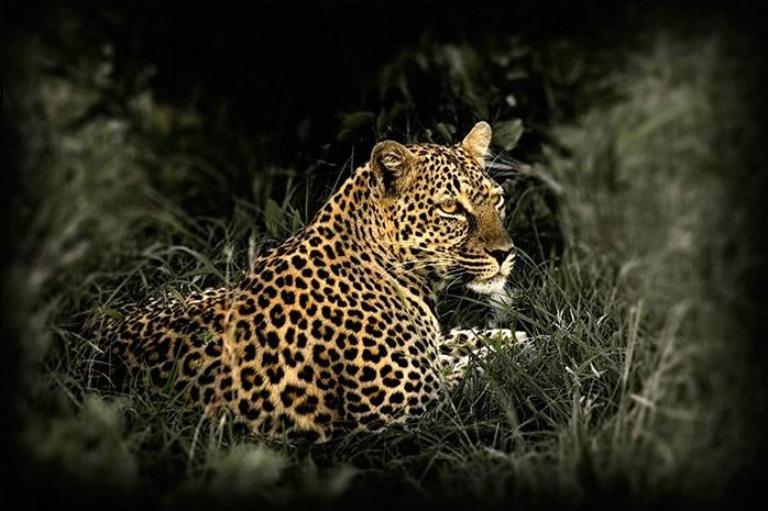 Masai Mara Kenya - Leopard