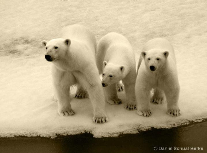 Ice Bear Trio