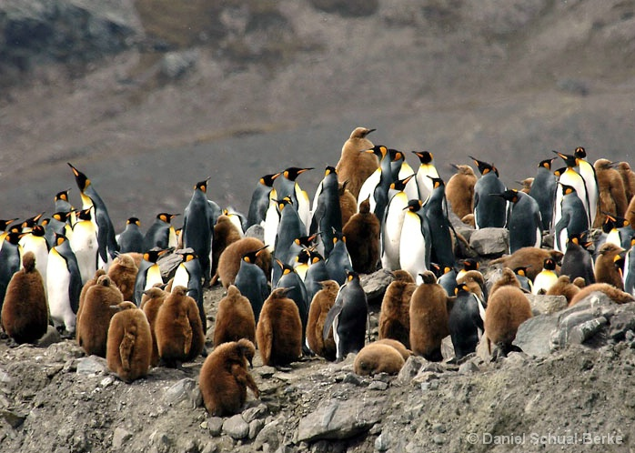 King Penguin 7