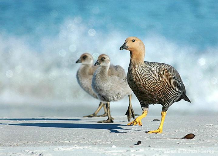 Ruddy Headed Goose 2