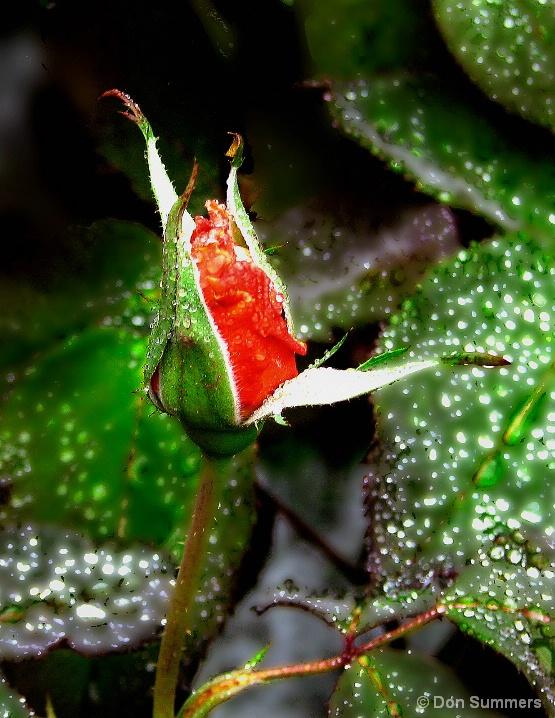 Spring Rose, Tiburon, CA 2007