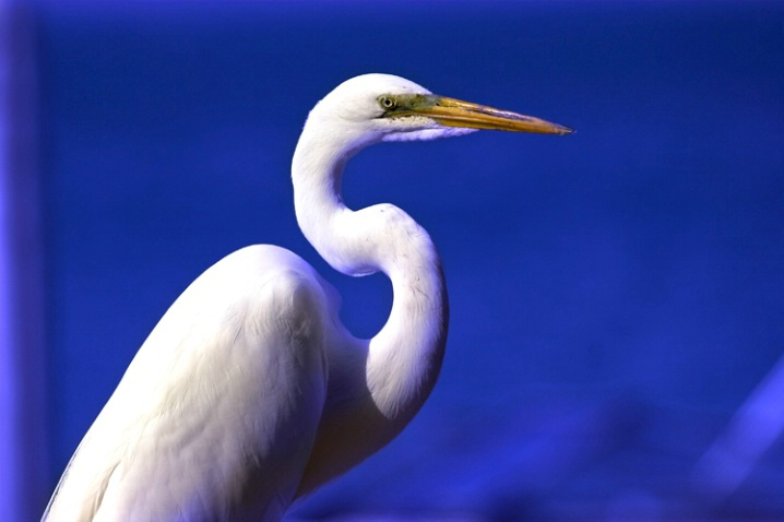 Great Egret on Blue