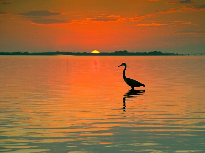 Sunset Great Egret