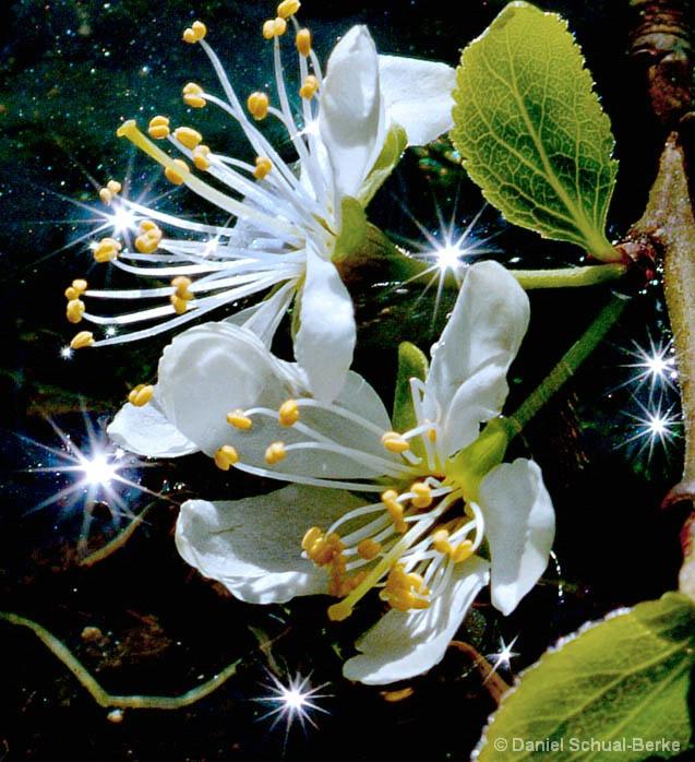Celestial Blossoms