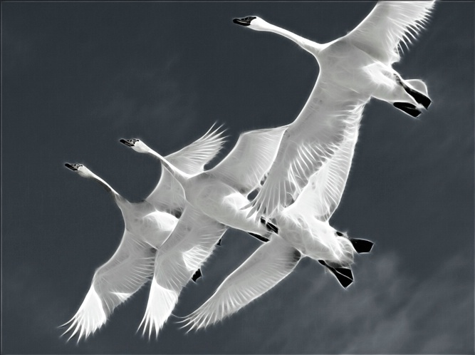 Electric Swans
