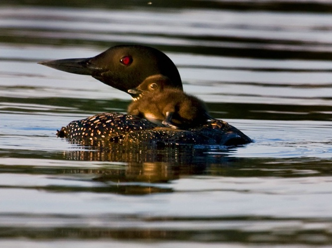 Loon Mother and Baby