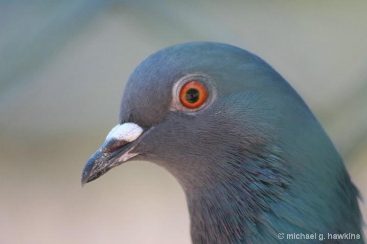 pretty pigeon