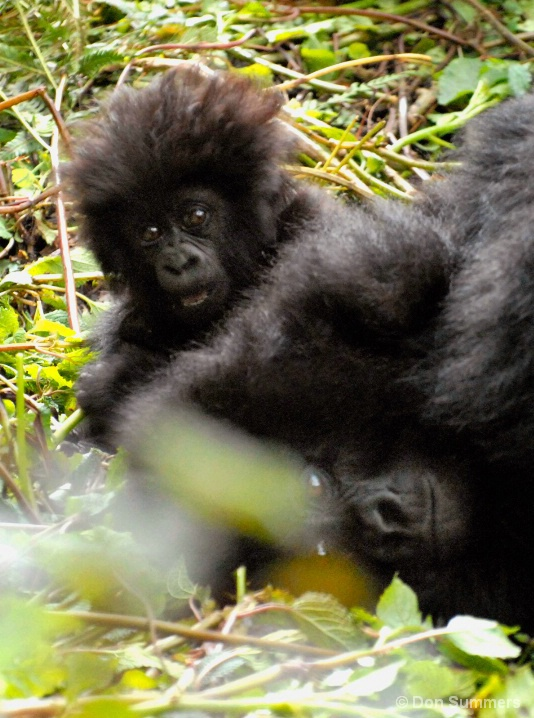 Baby & Mother Mountain Gorilla, Rwanda 2007