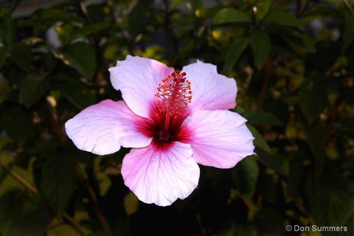 Rwandan Hibiscus, 2007