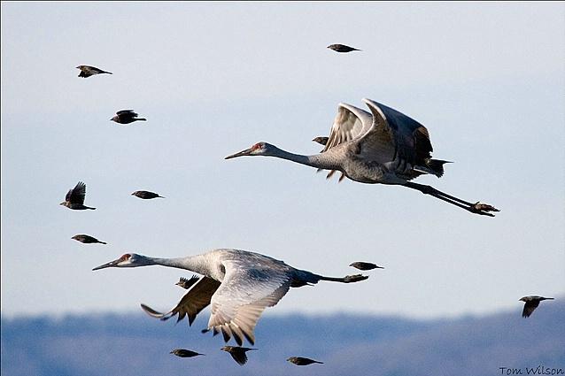 Sandhill Cranes with Fighter Escort