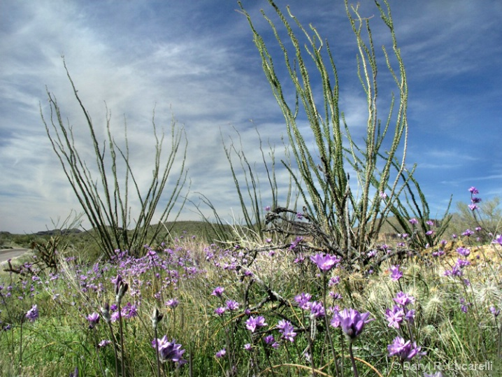 Purple Flowers and Ocotillo Cactus