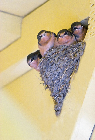 Baby Swallows2