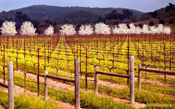 Vineyard In Bloom, Napa Valley, CA 2007