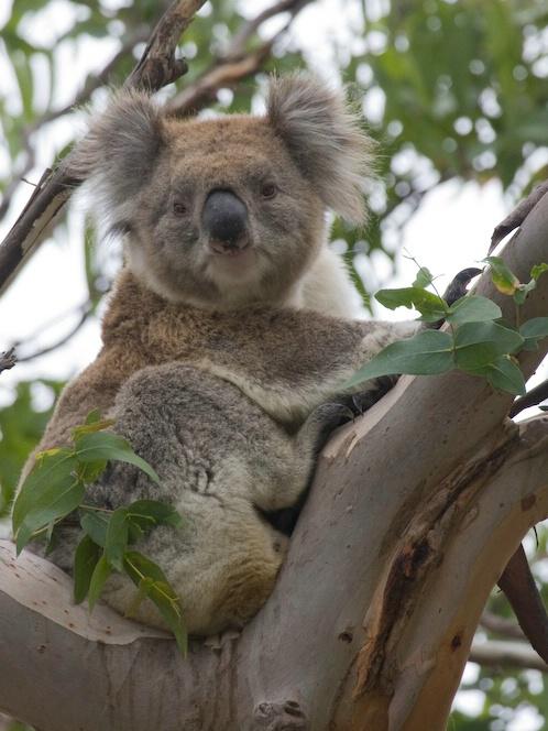 Portrait of a Koala