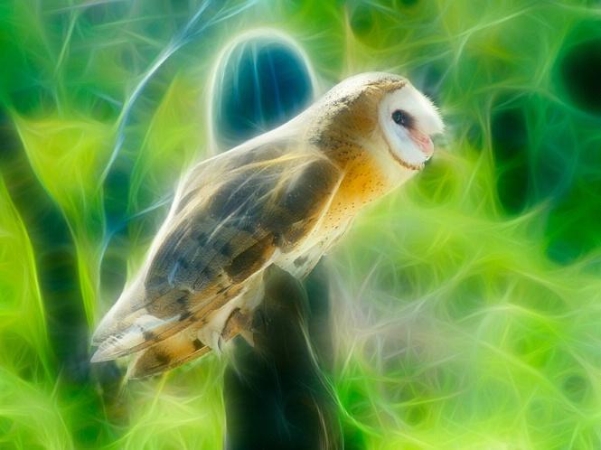 Altered Barn owl