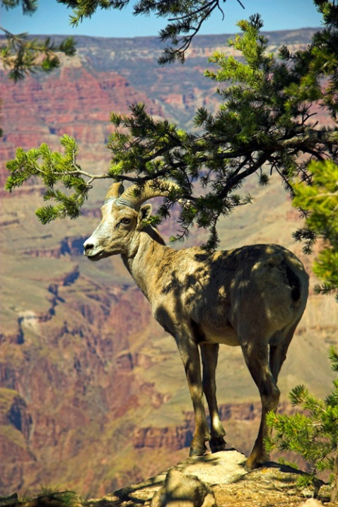 Grand Canyon Big Horn on the Edge