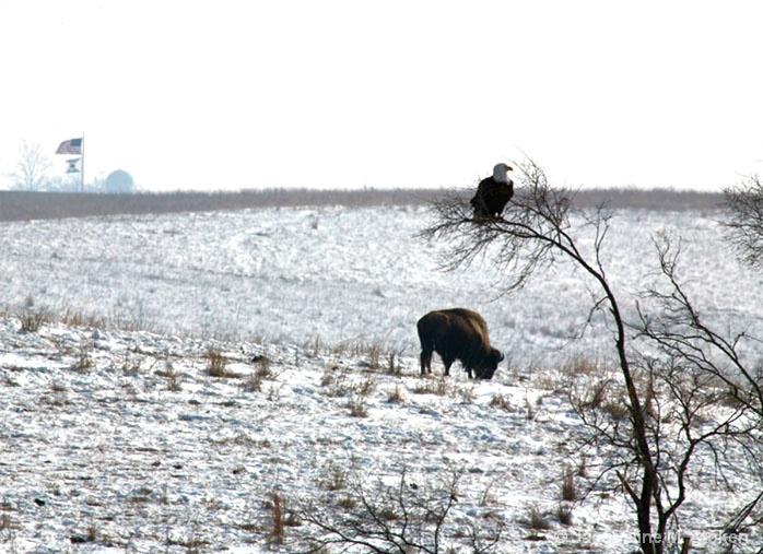 Buffalo, Eagle and American Flag