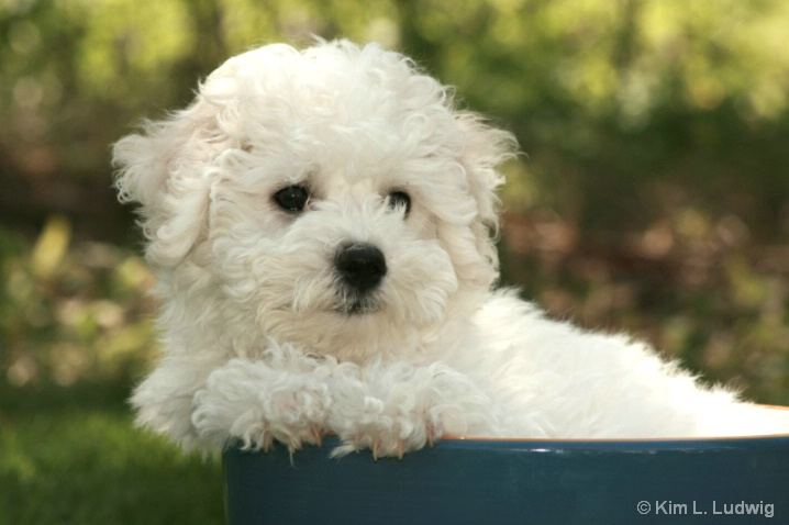 Bobby, The Bichon
