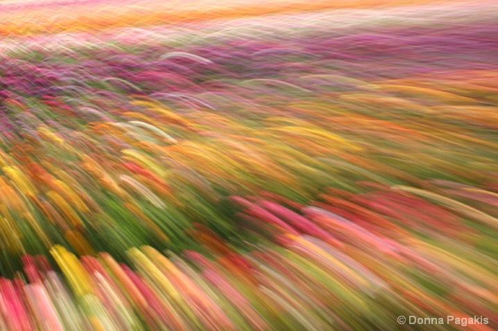 Sea of Ranunculus