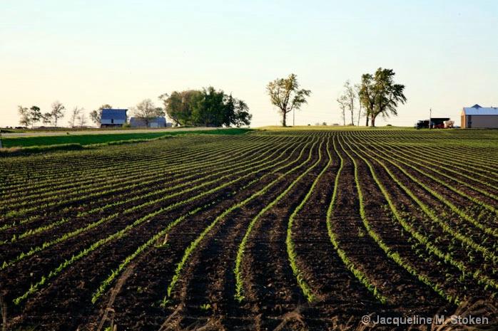 Early corn growth - 5/20/08
