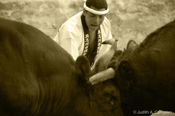 Okinawa bullfight II
