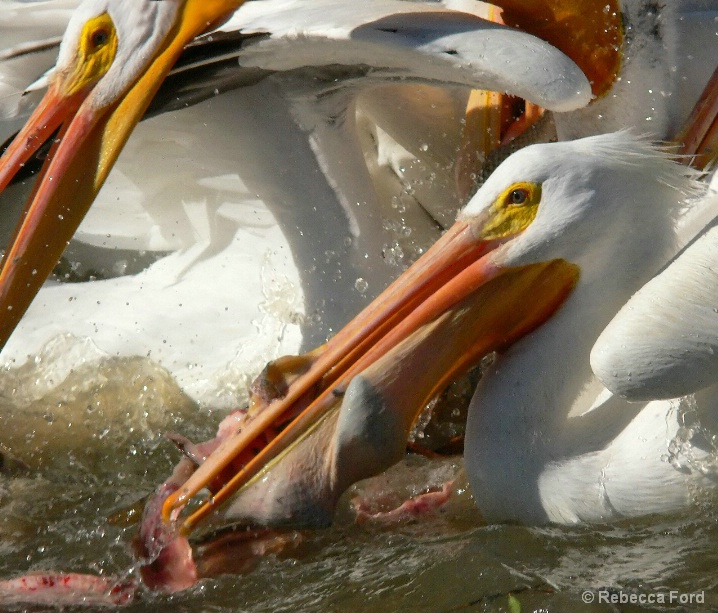 Pelican Feeding Time