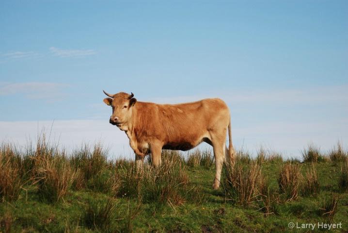 Scotland- Highland Cow