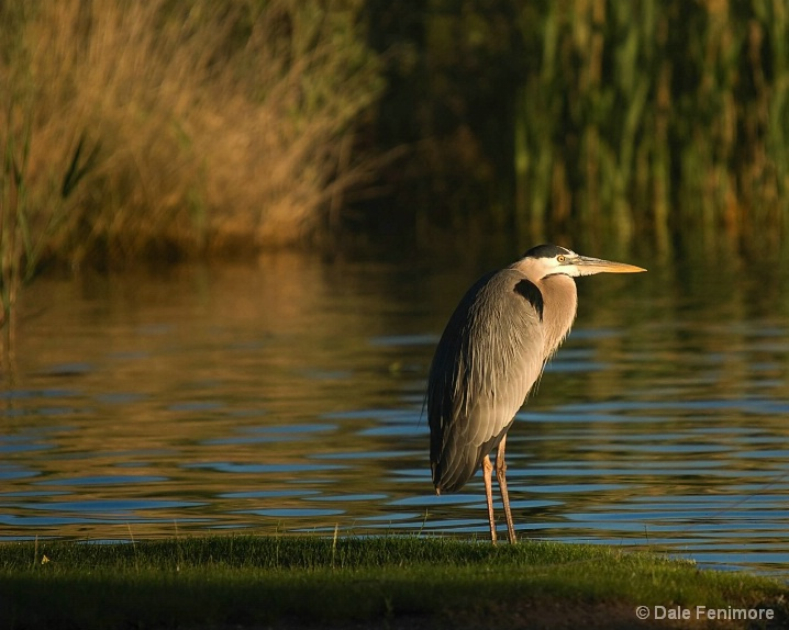 Great Heron in a Pond