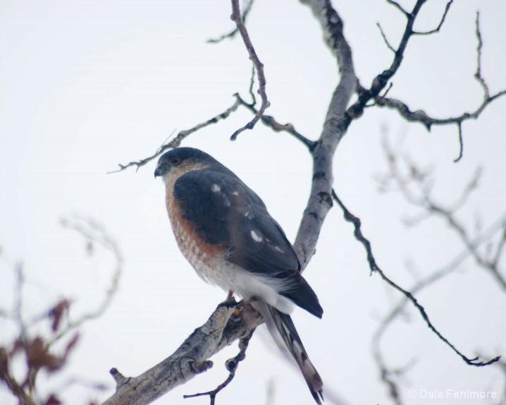 Falcon Sit